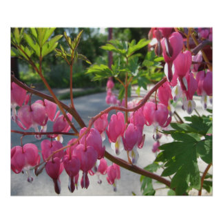Pink Bleeding Hearts Poster