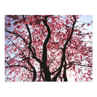 Pink Blossoming Weeping Willow Postcard