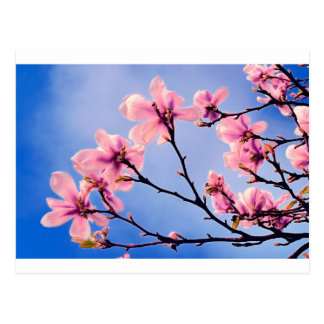 Pink Blossoms Against the Blue Sky Postcard