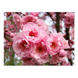 Pink Blossoms Flowers Spring postcards custom