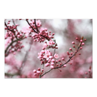 Pink Blossoms in Spring Photo