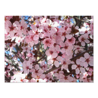 Pink Blossoms on Spring Flowering Tree Photo Print