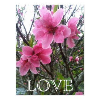 Pink Blossoms Postcard