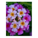 Pink Butterfly Weed Flowers Post Cards