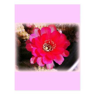 Pink Cactus Bloom Postcard