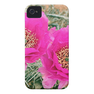 Pink Cactus flowers in bloom Case-Mate iPhone 4 Cases