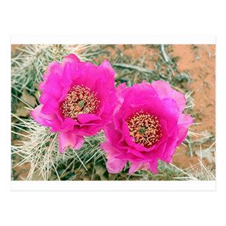 Pink Cactus flowers in bloom Postcard