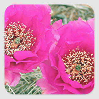 Pink Cactus flowers in bloom Square Sticker
