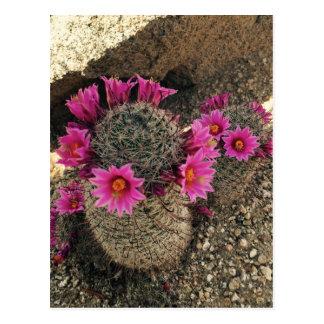 Pink Cactus in Bloom Postcard