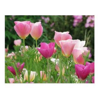 Pink Californian Poppies Postcard