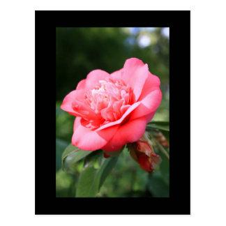 Pink Camelia Flower Postcard
