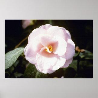 Pink Camelia Japonica 'Fleur De Pecher' (Japanese Poster