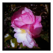 Pink Camellia Blossom Photo Poster