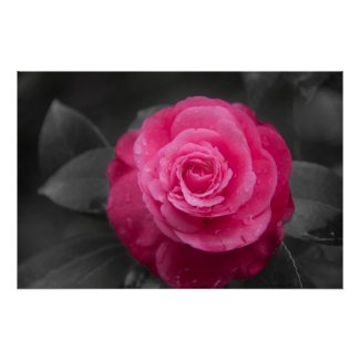 Pink Camellia Flower Poster