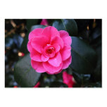 Pink Camellia Large Business Cards (Pack Of 100)
