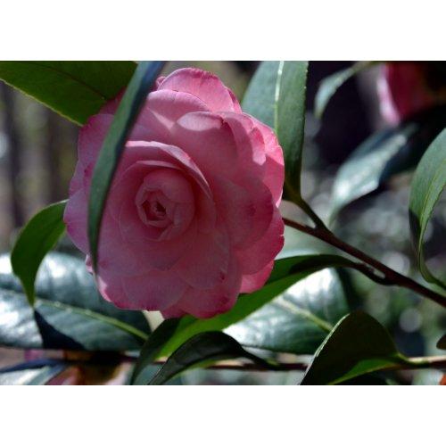 Pink Camellia Print print