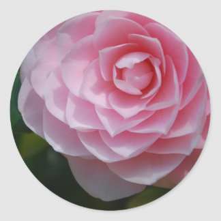 Pink Camellia Stickers