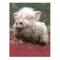 Pink Canadan miniature pig 41a Postcard