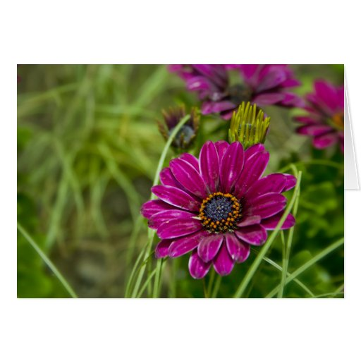 Pink Cape Daisy Flower greetings card