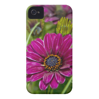 Pink Cape Daisy Flower iPhone 4 4s case-mate case iPhone 4 Case-Mate Case