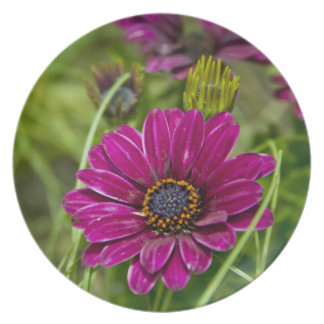 Pink Cape Daisy Flower plate