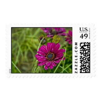 Pink Cape Daisy Flower postage stamps
