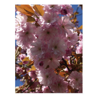 Pink Cherry Blossom Gifts Postcard