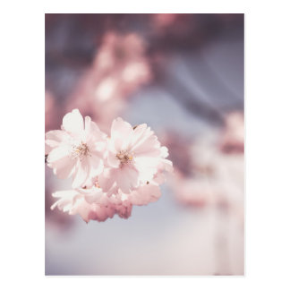 Pink Cherry Blossom in Spring Postcard