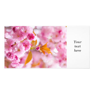 Pink cherry blossoms in spring orchard picture card