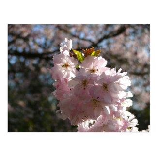 Pink cherry blossoms postcard