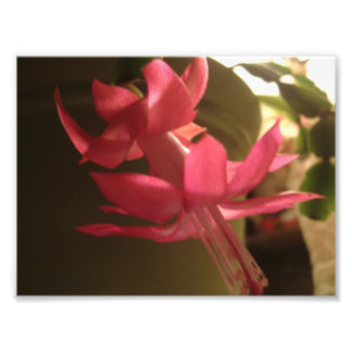 Pink Christmas Cactus Flower Photo Art