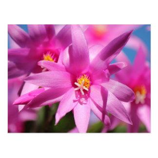 Pink Christmas Cactus Schlumbergera Flower Blossom Postcard