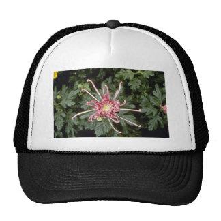 Pink Chrysanthemum 'Height Of Beauty' (Florist Chr Trucker Hats