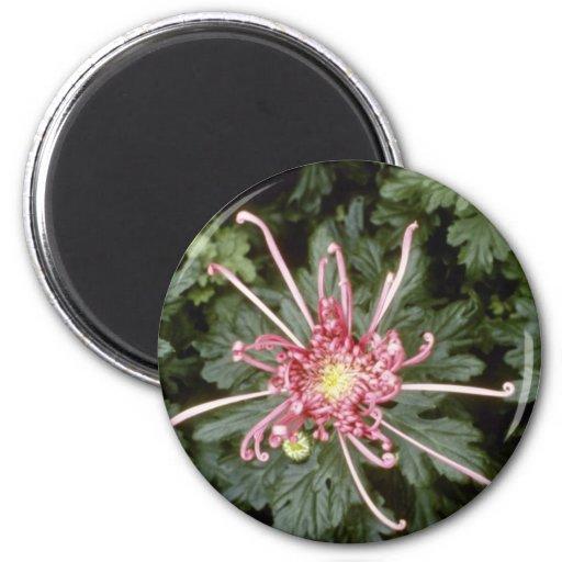 Pink Chrysanthemum 'Height Of Beauty' (Florist Chr Magnets