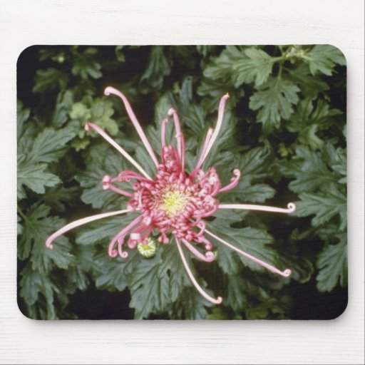 Pink Chrysanthemum 'Height Of Beauty' (Florist Chr Mouse Pad