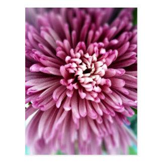 Pink Chrysanthemum Postcard