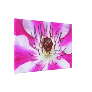 Pink Clematis Flower Stretched Canvas Prints
