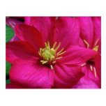 Pink Clematis flowers Postcard