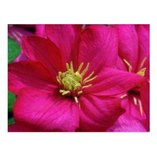Pink Clematis flowers Postcard