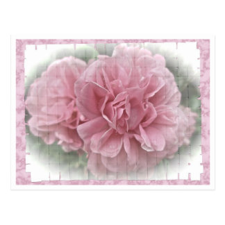 Pink Climbing Rose Blossoms Postcard