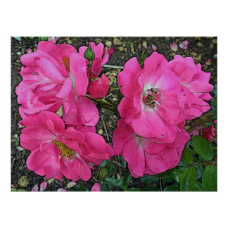 Pink Climbing Rose Poster Digitally Enhanced