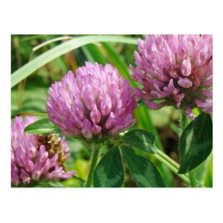 Pink Clover Wildflower - Trifolium pratense Postcard