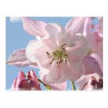 Pink Columbine Flowers Postcard