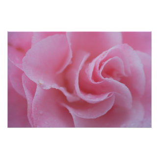 Pink Common Camellia Poster