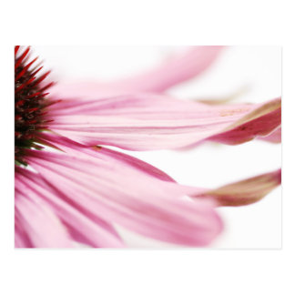 Pink Coneflower No. 2 Postcard