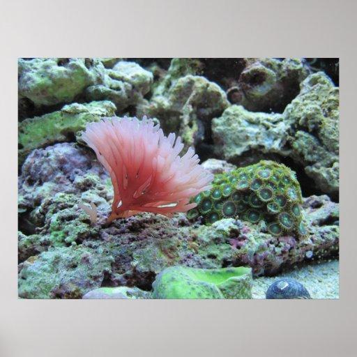 Pink coral in saltwater aquarium poster print