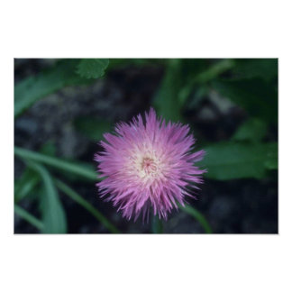 Pink Corn Flower (Centaurea Cyanus) flowers Print
