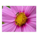 Pink Cosmos and Bee Pretty Wildflower Postcard