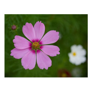 Pink Cosmos bipinnatus Postcard