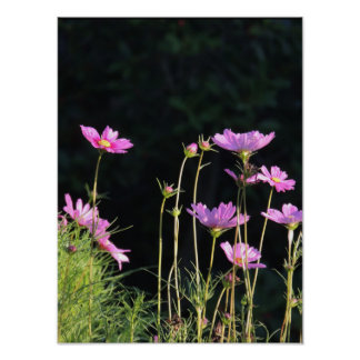 Pink Cosmos in the Morning Sun Poster